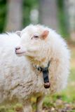 Dwarf white sheep in forest Royalty Free Stock Images