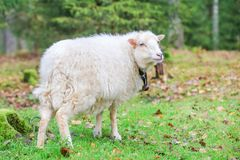 Dwarf white sheep in forest Royalty Free Stock Photos