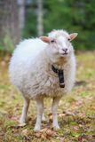 Dwarf white sheep in forest Stock Image