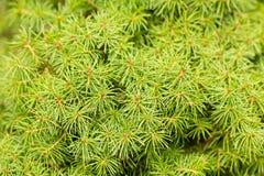 Dwarf White Spruce background. Royalty Free Stock Image