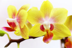 Dwarf yellow orchids Royalty Free Stock Image
