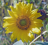 Dwarf Yellow sunflower head against a natural green background Royalty Free Stock Photos