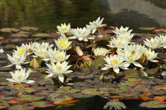 Dwarf Yellow Water-lily Stock Photo