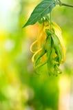 Dwarf Ylang-Ylang flower Stock Photo