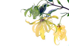 Dwarf Ylang-Ylang flower Stock Photos