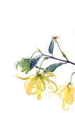Dwarf Ylang-Ylang flower Stock Photography