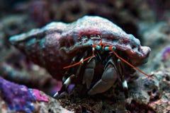 Dwarf zebra hermit crab calcinus laevimanus Royalty Free Stock Image