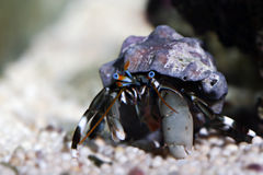 Dwarf Zebra Hermit Crab - Calcinus Laevimanus Stock Photo