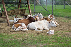 Dwarf Zebu cattle Royalty Free Stock Photo