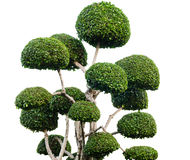 Dwarfed дерево Стоковые Фотографии RF