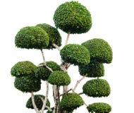 Dwarfed tree. Beautiful  dwarfed tree for decorative gardening Royalty Free Stock Photos