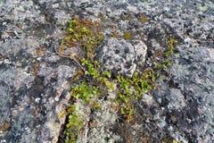 Dwarfish birch (Betula nana L.) grows in the stony tundra Royalty Free Stock Photography