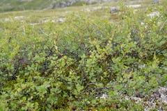Dwarfish björkBetula nana L i norden av Kola Peninsula arkivfoto