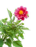Dwarfish dahlia background Stock Images