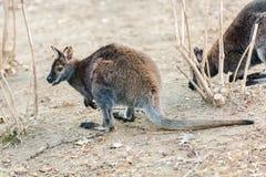 Dwarfish gray kangaroo Stock Photos