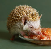 Dwarfish hedgehog eating meat from the plate. Hungry  dwarfish hedgehog eating meat from the plate Royalty Free Stock Photos