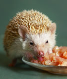 Dwarfish hedgehog eating meat from the plate Royalty Free Stock Photos