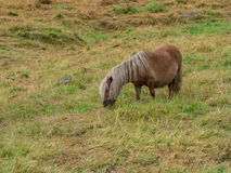 Dwarfish horse Stock Images