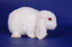 Dwarfish lop-eared rabbit Stock Photos