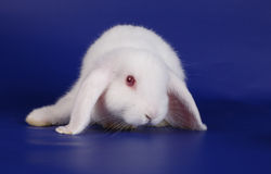 Dwarfish lop-eared rabbit an albino Royalty Free Stock Photography