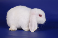 Dwarfish lop-eared rabbit an albino Royalty Free Stock Images
