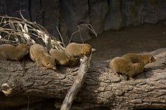 Dwarfish mongoose Royalty Free Stock Images
