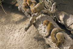 Dwarfish mongoose Royalty Free Stock Image