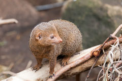 Dwarfish a mongoose sits on  tree trunk Stock Images