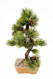 Dwarfish pine is art bonsai. Isolated on the white Royalty Free Stock Image