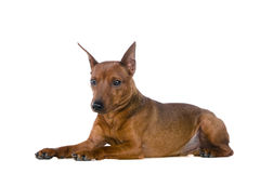 The dwarfish pinscher Stock Photo