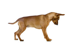 Dwarfish pinscher costs on white Royalty Free Stock Photography
