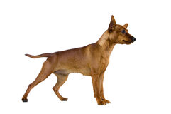 Dwarfish pinscher costs on white Royalty Free Stock Photo