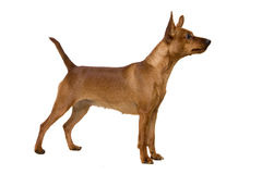 Dwarfish pinscher costs on white Stock Image