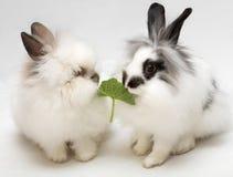 dwarfish roliga kaniner Arkivbild