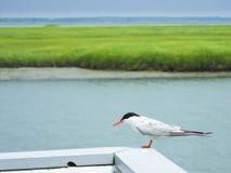 Dwarfish tern near the river, Harbor Bay, NJ, USA Royalty Free Stock Photo