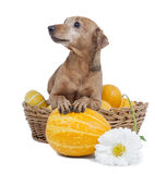 Dwarfs Pinscher with pumpkins Stock Images
