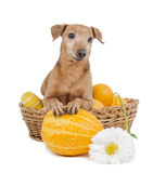 Dwarfs Pinscher with pumpkins Royalty Free Stock Photography