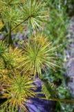dwarft纸莎草植物的花 免版税图库摄影