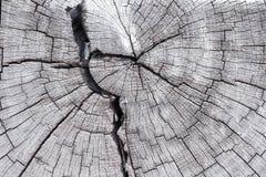 Dwarsdoorsnede van boomboomstam stock fotografie