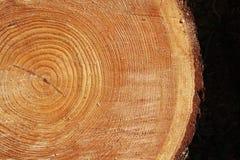 Dwarsdoorsnede van een boom Stock Foto