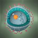 Dwarsdoorsnede van een hepatitisziekteverwekker met DNA, celkern en receptoren vector illustratie