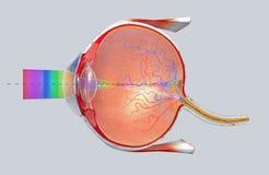 Dwarsdoorsnede van het menselijke oog in een zijaanzicht royalty-vrije illustratie