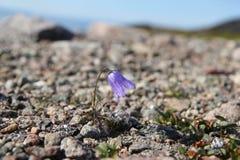Dwerg bellflower op stenen Royalty-vrije Stock Foto's