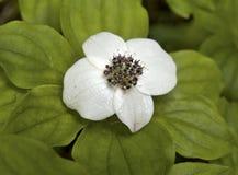 Dwerg bunchberry (Cornus unalaschkensis) Stock Afbeelding