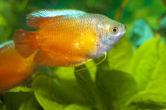Dwerg Gourami in Aquarium royalty-vrije stock foto's