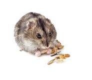 Dwerg hamster Stock Foto's