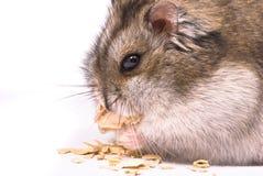 Dwerg hamster die pompoenzaad eet Royalty-vrije Stock Afbeeldingen