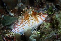 Dwerg hawkfish Royalty-vrije Stock Foto