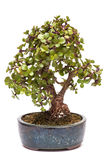 Dwerg jadeinstallatie als bonsaiboom Royalty-vrije Stock Foto's