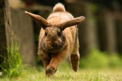 Dwerg konijn Royalty-vrije Stock Afbeeldingen